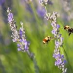 Bees & Lavendar
