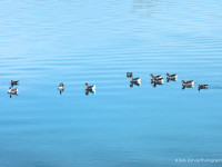 Geese swimming on Yakima River