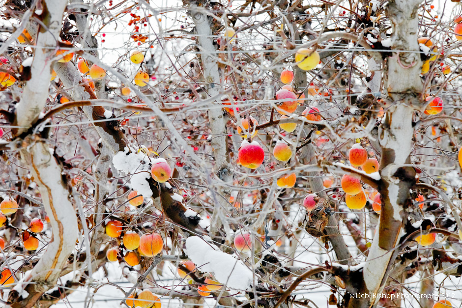 Frozen apples in a Mid-Columbia orchard