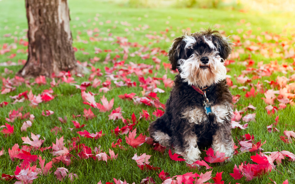 Mini-Schnauzer & Autumn Leaves