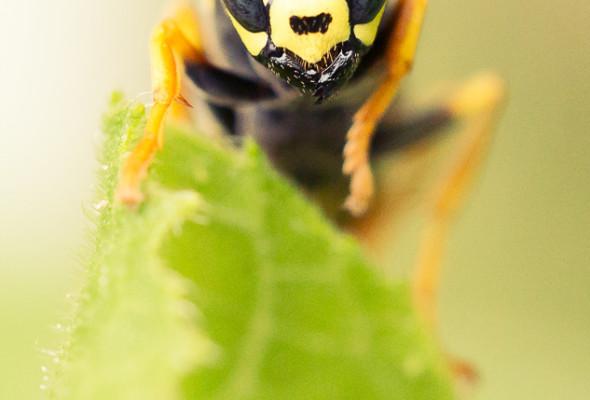 paper-wasp-closeup-9293-
