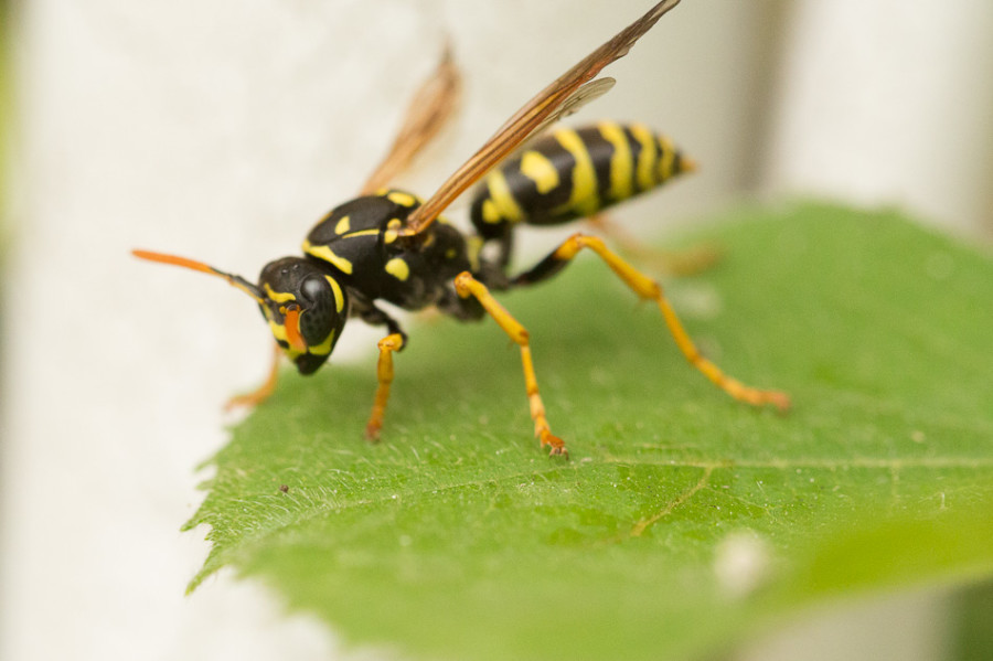 Wasp waiting for squash bug breakfast eggs to hatch.
