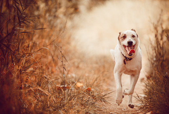 White cattle dog running on dirt trail wearing a smile and tongue hanging out.
